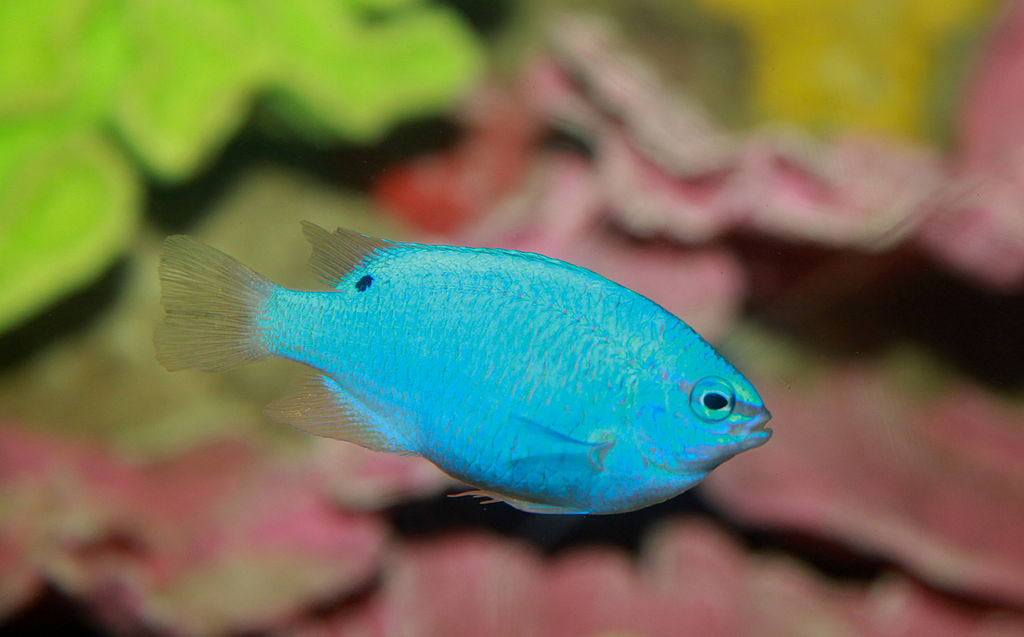 Blue Damselfish Chrysiptera cyanea By: Brian Gratwicke